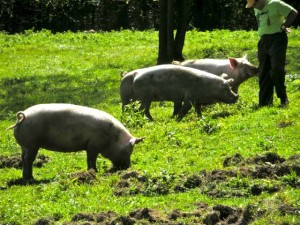 A photo from my mother's farm. One of these piggies ended up on my MasterChef audition plate...